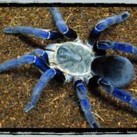 Tarantula slings