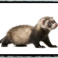 For ferret lovers