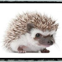 For hedgehogs and tenrecs