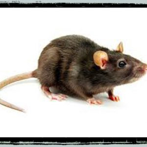 For rats