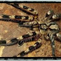 Tarantula Sub adults and adults